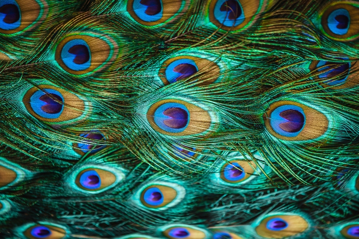 Peacock Featured Image